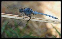 2 more Damsel Flies