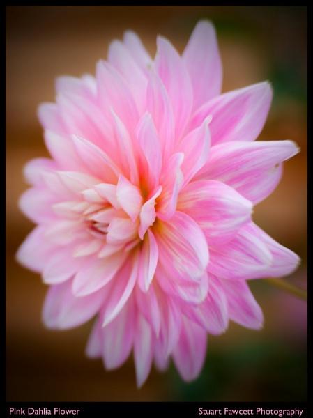 Soft Pink Dahlia by JackAllTog