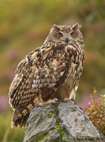 Eagle Owl (C) by paulrosser