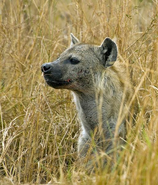 Hyena in Masai Mara by Carljorgensen
