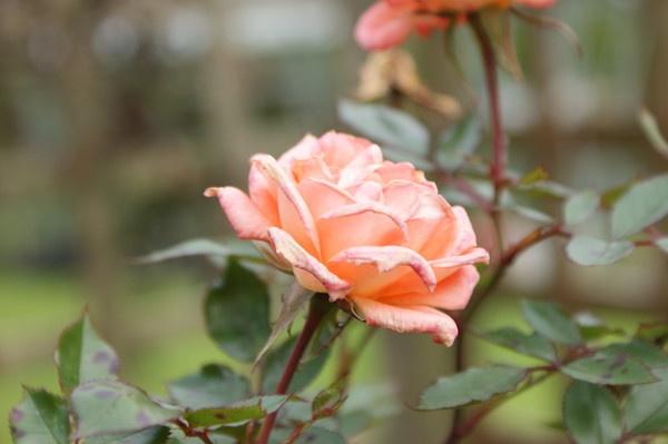 rose by Tash_hares