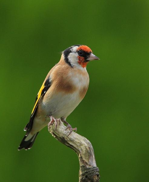 Goldfinch by forestfotos