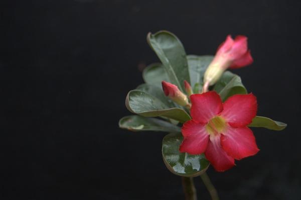 frangipani by indrapsaja