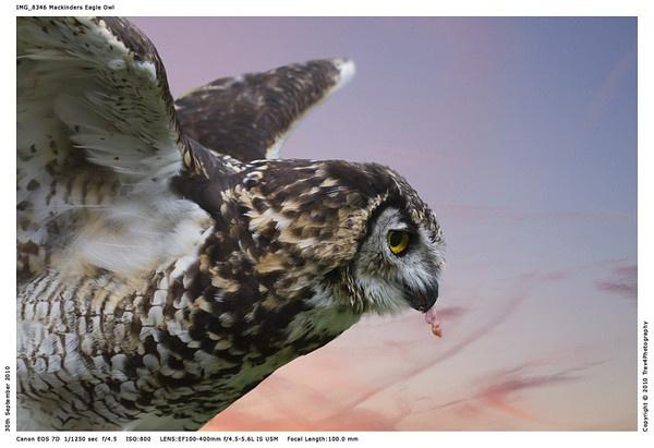 Mackinders Eagle Owl by trev4