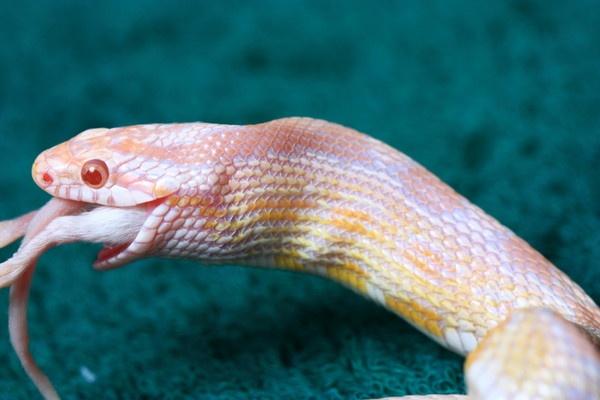 corn snake feeding by thermosoflask