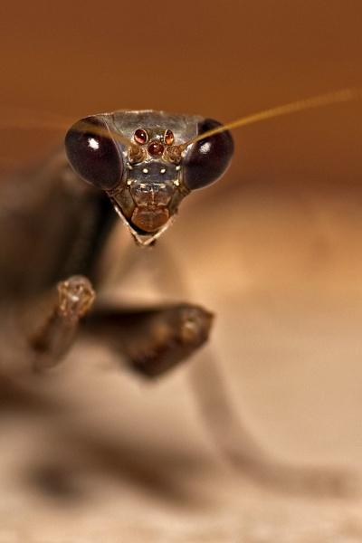 Preying Mantis by SpiroSpiteri