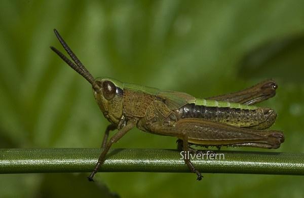 Grasshopper by Silverfern