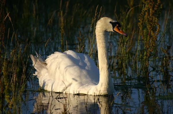 Swan by manus