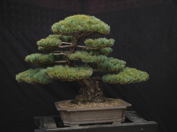 Japanese White Pine Bonsai by Mozzytheboy