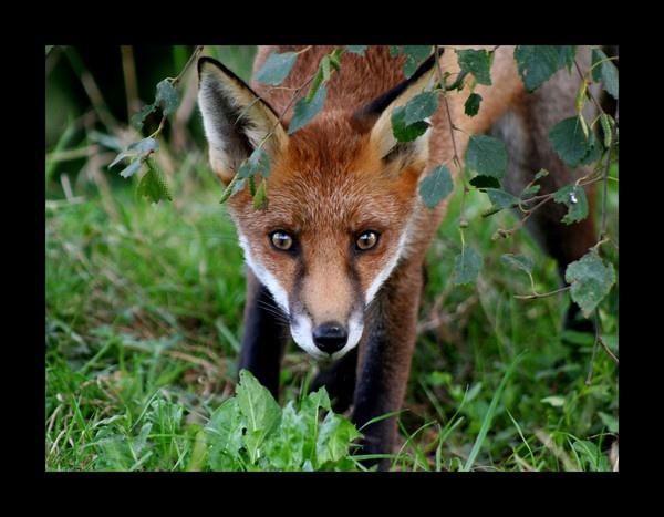 Fox by katep1