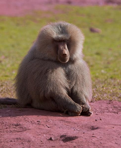 Dusty Baboon by chensuriashi