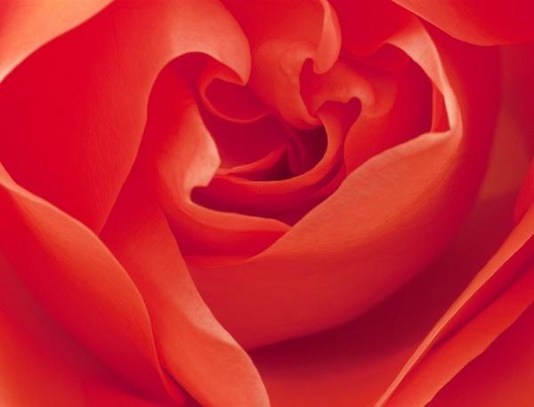 Rose by Stonemushroom