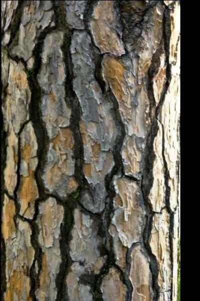 bark by saber