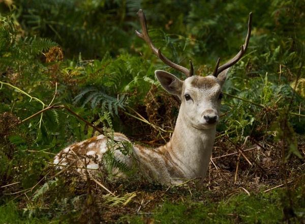 Fallow Deer by ronan1
