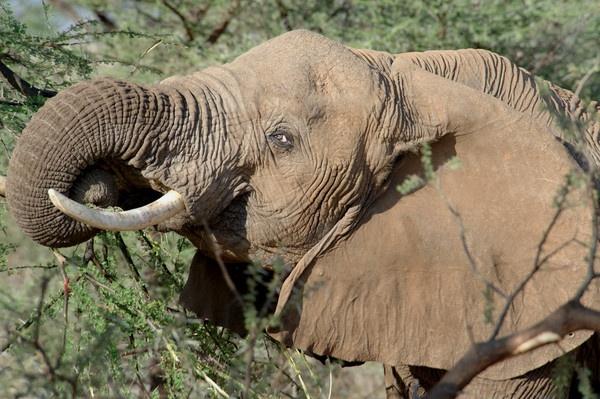 Elephant by Carljorgensen