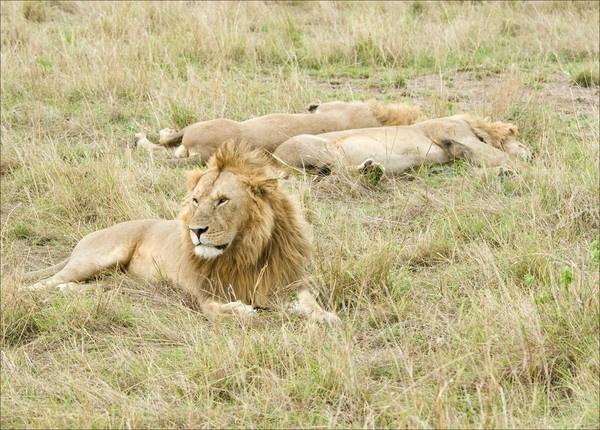 Lions by Carljorgensen