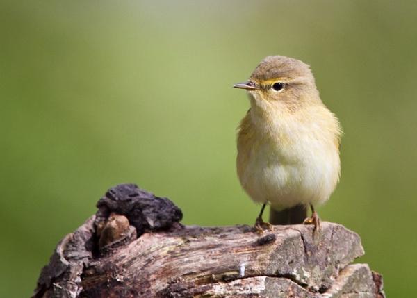 Wee warbler by wonkers