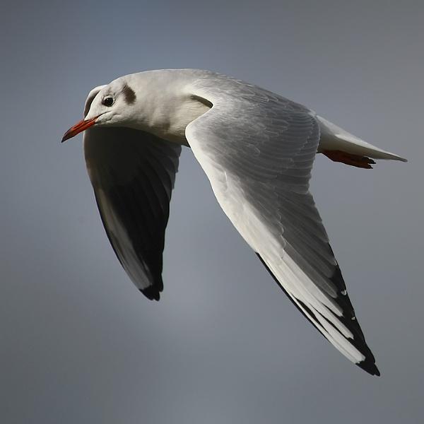 Jonathan Livingston Seagull by Imagephotographics