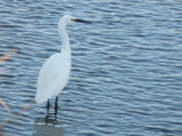 Egret by CallumThomas