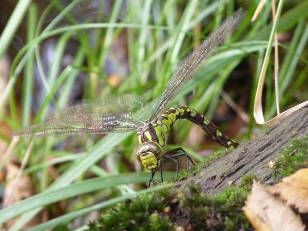 Dragonfly by CallumThomas