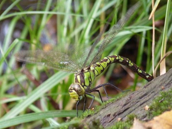 Dragonfly II by CallumThomas