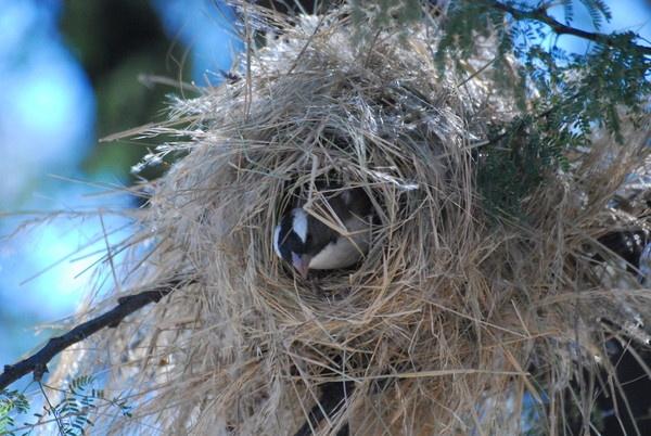 Weaver bird at work by peggyb
