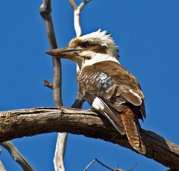 Kookaburra (Dacelo novaeguineae) by metro074