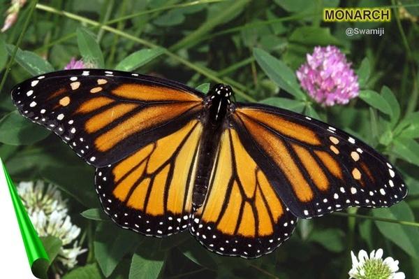 Monarch by Swamiji