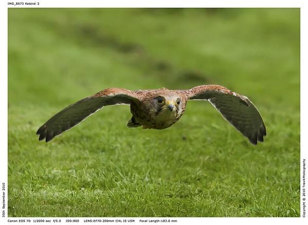 Kestral in flight by trev4