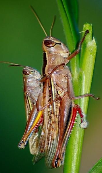 Grasshoppers by SpanishDave