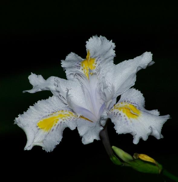 Iris by bigredtim