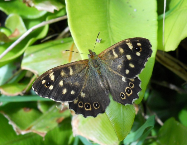 Speckled Wood Butterfly by JohnJenkins99
