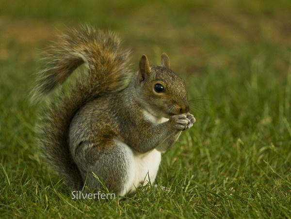 Grey Squirrel by Silverfern