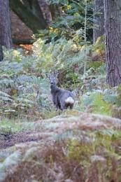 Roe Deer buck in woodland