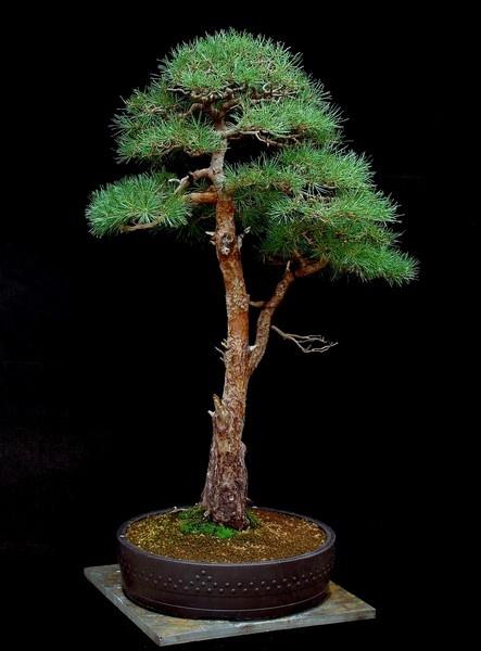 Scots Pine Bonsai, the big one by Mozzytheboy