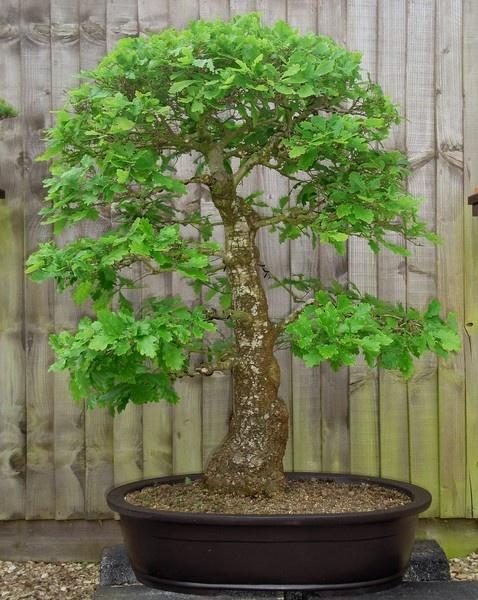 English Oak Bonsai by Mozzytheboy