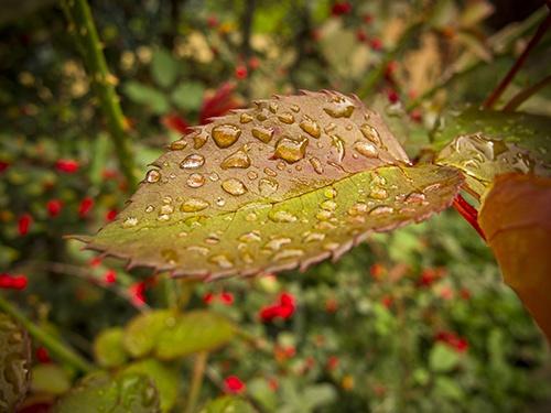 First Autumn Leaf by Skatershrew