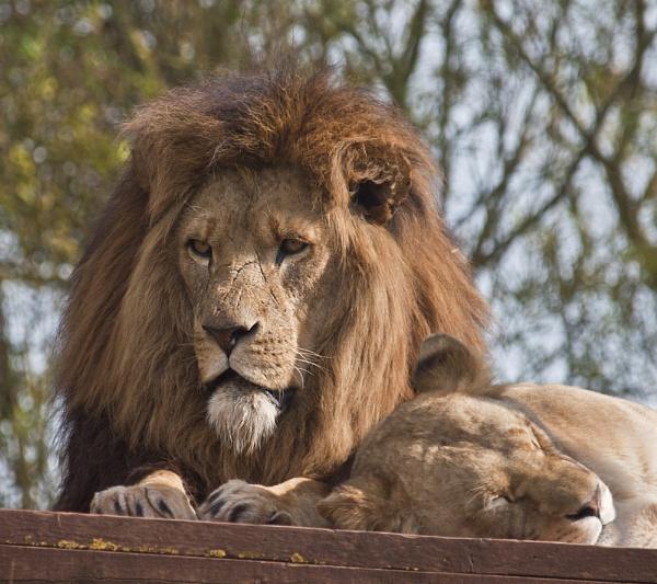 Lion+Wife by chensuriashi