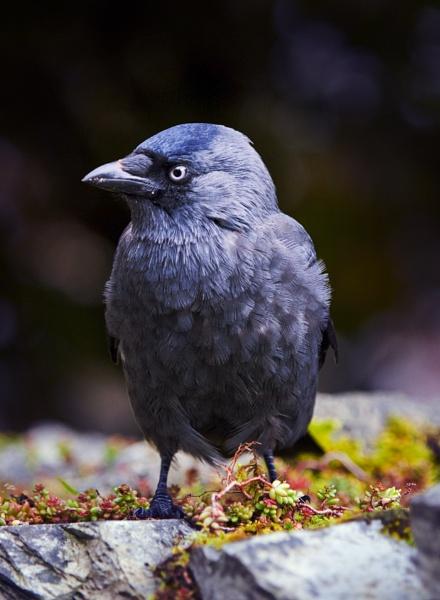 Baby Raven by chensuriashi
