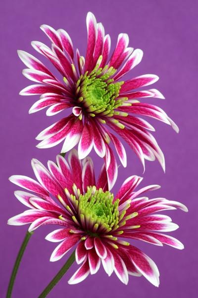 Chrysanths by brianhaslam