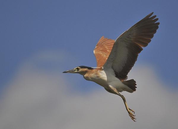 Nankeen heron in flight by grandalf