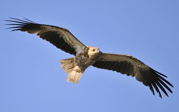 whistling kite by grandalf