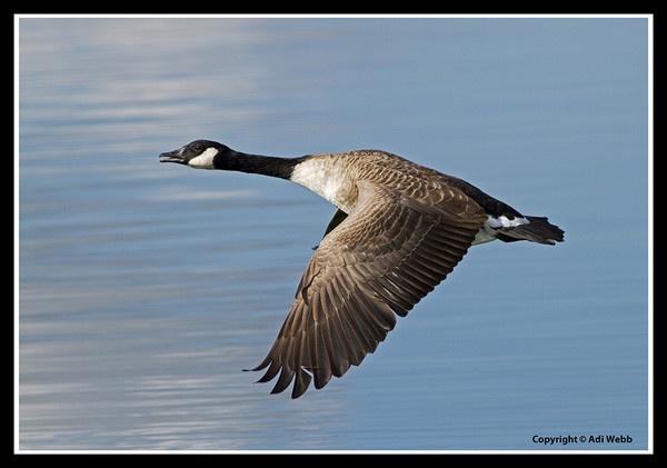 Canada goose by Adi7r