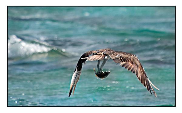 Osprey by Bodiewil