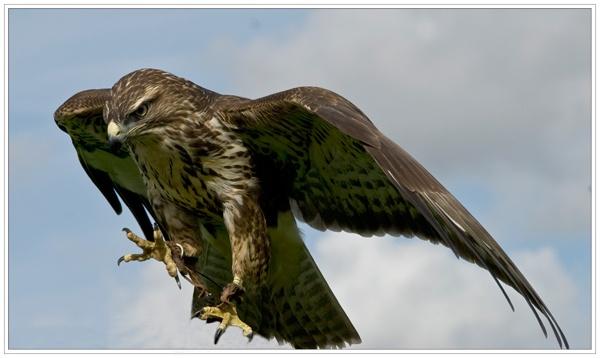 Harris hawk landing by n8trm