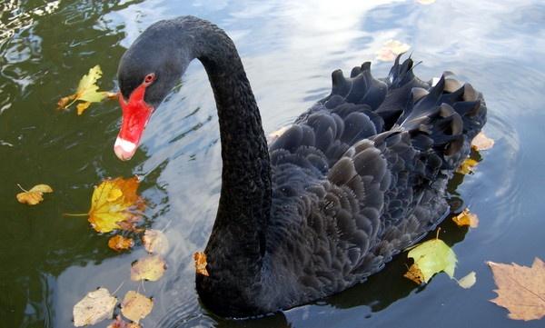 Black Swan by Bazman