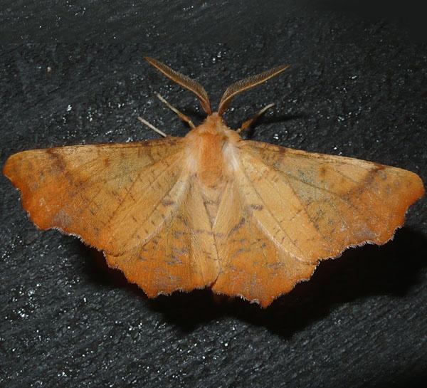 autumn leaf moth by fotoboy