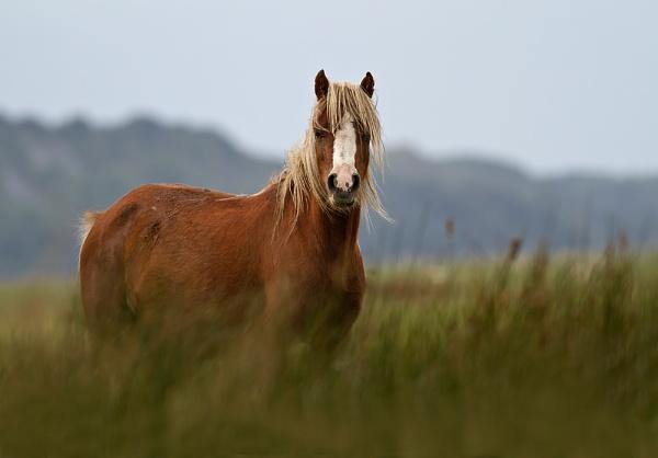 Wild Horse by paulrosser