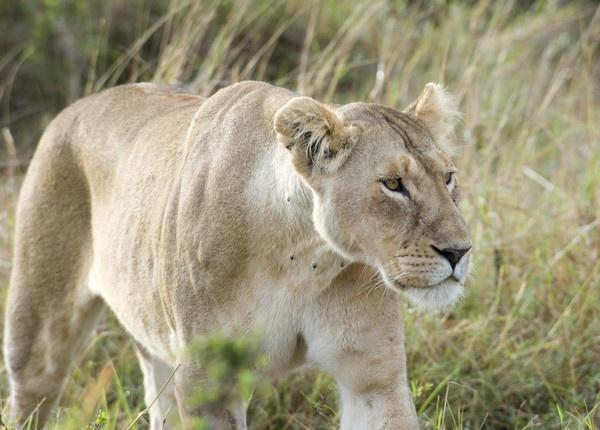 Lioness by Carljorgensen