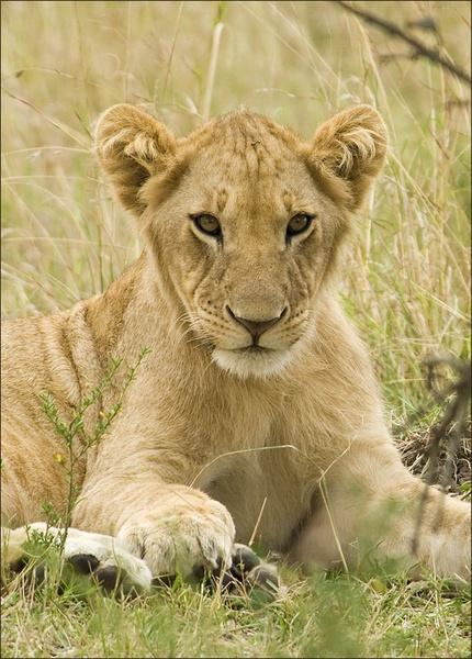 Lion cub by Carljorgensen